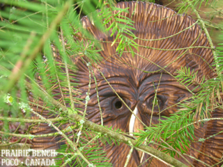 Prairie Bench owl 1b